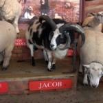 Sheep Show 1