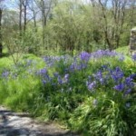 Bluebells at Lower Hearson