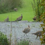 PHEASANTS IN THE GARDEN