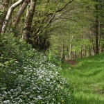 Wild Garlic Avenue