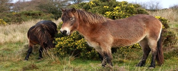 Exmoor Pony Festival 2014 Schools Poster Competition