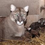 Puma family